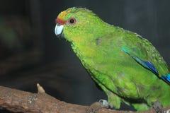 Yellow-crowned parakeet Stock Image