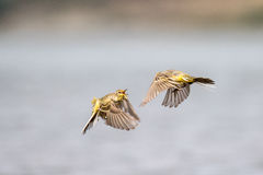 Yellow-crowned wagtail juveniles - Quarrel Royalty Free Stock Images