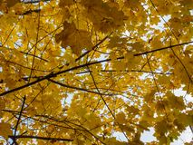 Yellow crowns of trees in the park in the autumn afternoon. Yellow crowns of trees in the park in the autumn afternoon Royalty Free Stock Photography