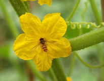 Yellow Cucumber blossom Royalty Free Stock Images