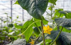 Yellow cucumber blossom from close. Subtile yellow colored cucumber blossom growing on a climbing cucumber plant in the large heated greenhouse of a specialized Royalty Free Stock Images