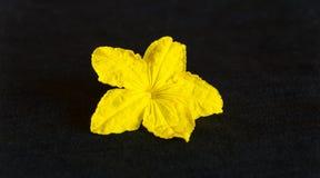 Yellow cucumber flower on a dark background. Plant stock photos