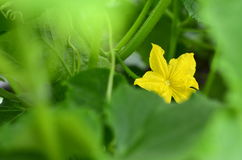 Yellow cucumber flower in a greenhouse. Blossom of Boston pickling cucumber growing on vine Royalty Free Stock Images