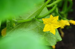Yellow cucumber flower in a greenhouse. Close-up of ripening cucumber in the vegetable garden Royalty Free Stock Image