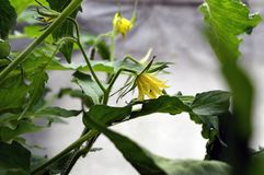 Yellow cucumber flowers in the greenhouse tied to a rope. royalty free stock images