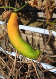 Yellow Cucumber Royalty Free Stock Photography