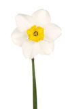 Yellow-cupped white daffodil Stock Photo