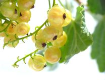 Yellow currant royalty free stock images