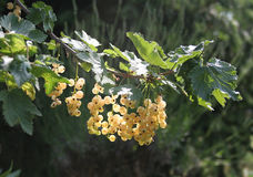 Yellow currant in sunshine 1 Stock Image