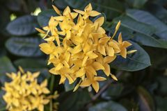 Yellow cute Color Ixora flowers or jungle geranium or flame of the jungle woods, Ixora coccinea. Yellow Ixora cute flower blooming in the green garden, natural stock photo