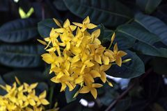 Yellow cute Color Ixora flowers or jungle geranium or flame of the jungle woods, Ixora coccinea. Yellow Ixora cute flower blooming in the green garden, natural royalty free stock images