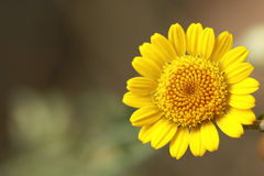Yellow cute little flower. Smiling alone Royalty Free Stock Images