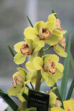 Yellow Cymbidium orchid Royalty Free Stock Image