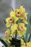 Yellow Cymbidium orchid Royalty Free Stock Image