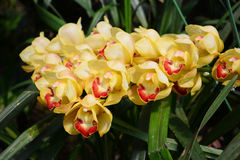 Yellow cymbidium orchid. Royalty Free Stock Image