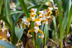 Yellow Cymbidium orchid in pot. Flower and stem Royalty Free Stock Photos