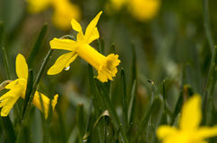 Daffodiels Stock Photo