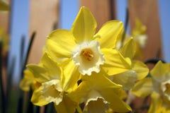 Yellow Daffodil. Daffodils closeup in Ireland near Newgrange Royalty Free Stock Photo