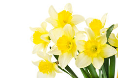Free Yellow Daffodil Royalty Free Stock Photography - 39586117