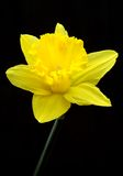Yellow Daffodil. Beautiful yellow Daffodil or Narcissus on black background stock images