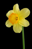Yellow daffodil. Isolated on a black background Stock Photos