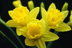 Yellow Daffodil. Beautiful yellow Easter Daffodils on black background royalty free stock photo