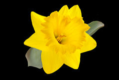 Yellow Daffodil. Isolated on black background royalty free stock image
