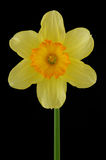 Yellow daffodil. Isolated on a black background Royalty Free Stock Photography