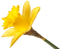Yellow daffodil Royalty Free Stock Photo