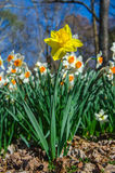 Yellow Daffodil Against White Daffodils Vertical Stock Images
