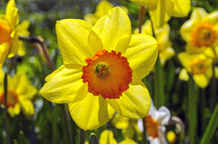 Yellow daffodil in backlit. Royalty Free Stock Photo