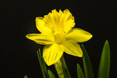Yellow Daffodil on Black Stock Images