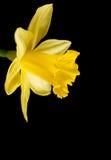 Yellow daffodil on black Royalty Free Stock Photo