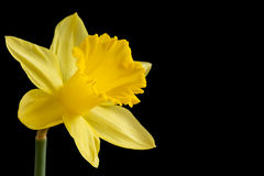 Yellow daffodil on black Royalty Free Stock Photography