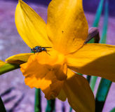 yellow daffodil with black fly Royalty Free Stock Photos
