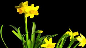 Yellow daffodil blossom, time-lapse with alpha channel. Yellow daffodil blossom, time lapse with alpha channel stock video footage