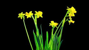 Yellow daffodil blossom, time-lapse with alpha channel. Yellow daffodil blossom, time lapse with alpha channel stock video