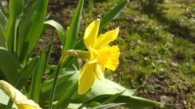 Yellow daffodil blowing in the wind. In a garden with a fresh warm calm look stock footage
