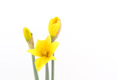 Yellow Daffodil with buds Stock Photography