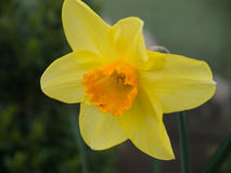 Free Yellow Daffodil Close Up Stock Images - 42837474