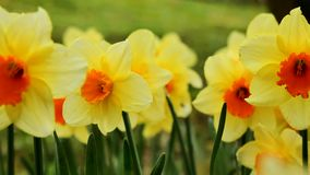 Yellow daffodil close-up. Using the slider stock footage