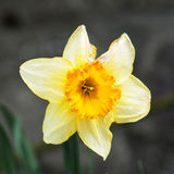 Yellow daffodil close Royalty Free Stock Photo