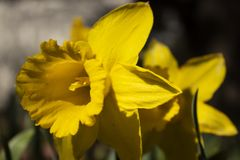 Yellow Daffodil stock image