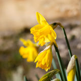 Yellow Daffodil Easter Narcissus Flowers Blooming, Stone Wall Ba Royalty Free Stock Photo