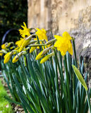 Yellow Daffodil Easter Narcissus Flowers Blooming, Stone Wall Ba Stock Photography