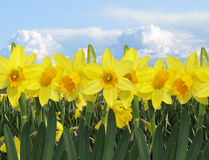 Yellow daffodil field with sunny blue sky and clouds Stock Photography