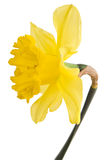 Yellow daffodil flower Stock Photography