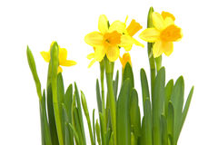 Yellow Daffodil flower Royalty Free Stock Photo