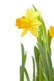 Yellow Daffodil flower Stock Photos