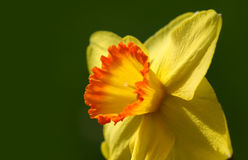 Yellow Daffodil flower Stock Image